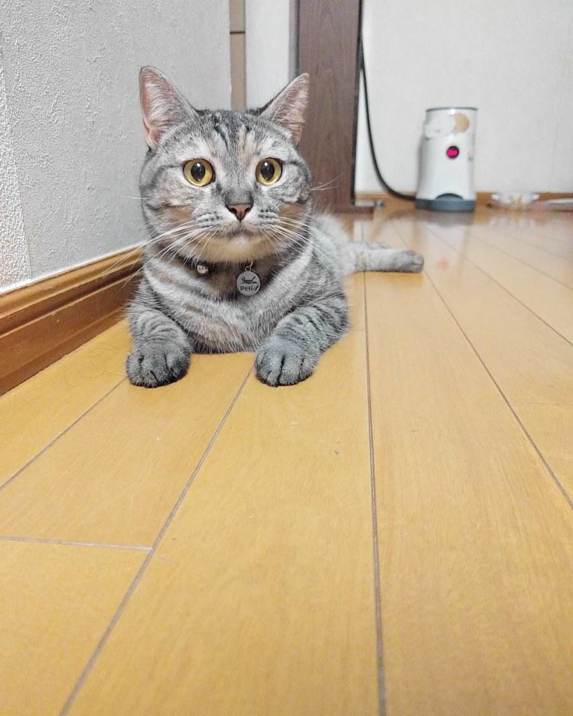 壁紙用 For Wallpaper 猫 ネコ ねこ ねこ部 マンチカン