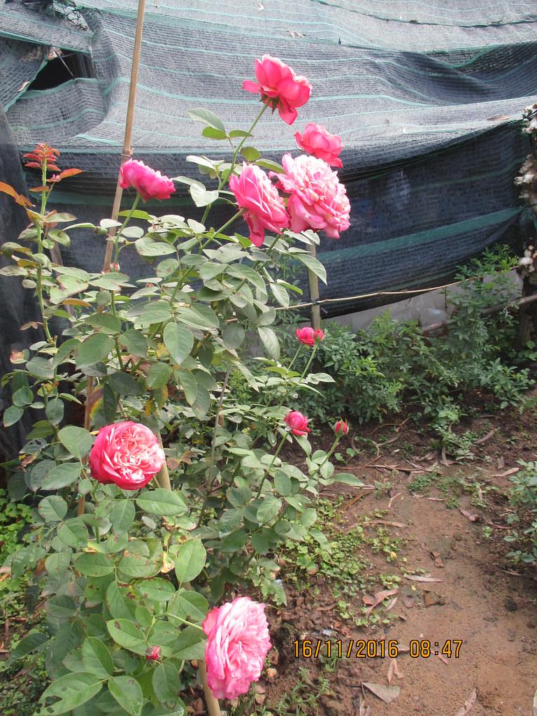 Cây hồng Kordes Jubilee Rose tại vườn