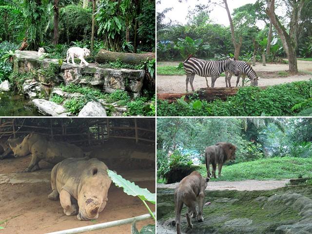 singapore zoo white tiger zebra rhino lions