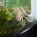Barton Springs Salamander - Photo (c) Roger Shaw, some rights reserved (CC BY-NC-SA)