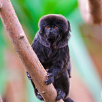 Small black monkey on the branch