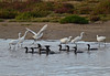 Little Egrets and Little Black Cormorants