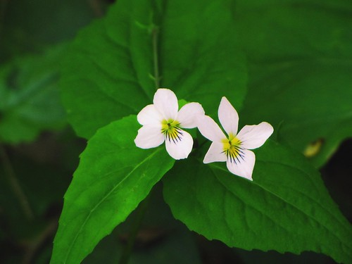 IMG_7636_White_Violets_on_Little_River_Trail