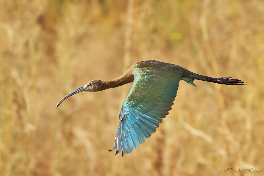 White-faced Ibis 050313-4