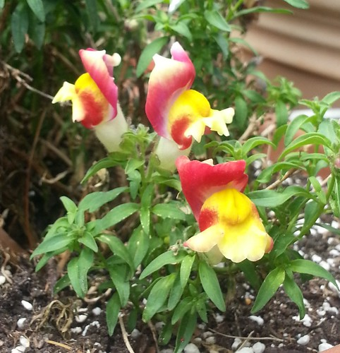 yellow snap dragons