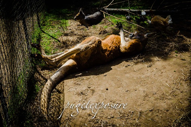Sunbathing Kangaroo