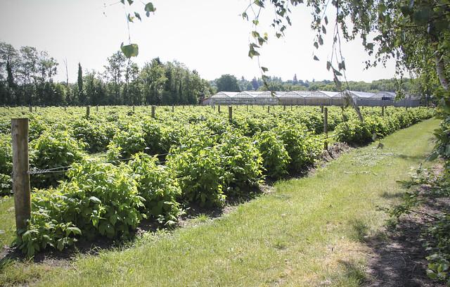 Raspberry field