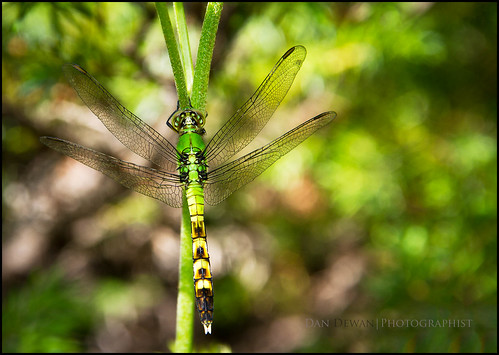 Female Common Pondhawk 169-365