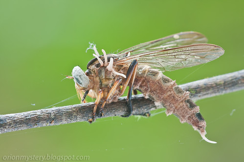Robber fly with cordyceps fungus IMG_7851 copy
