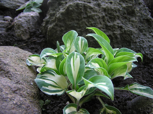 Hosta 'Bandora's Box'