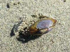 Clam burrowing back into the sand