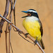Great Kiskadee - Photo (c) Dario Sanches, some rights reserved (CC BY-SA)