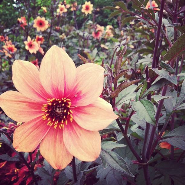 #photoadayalbsummer : dahlia at #longwoodgardens  #gobeyond