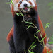 Red Panda by Buggers1962