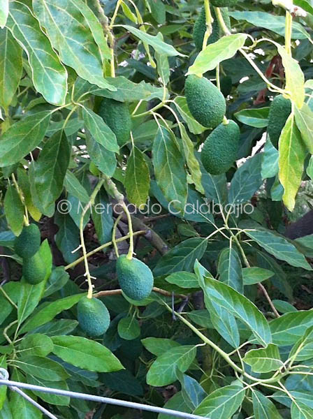 AGUACATES-3