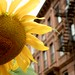 Sunflower and brownstones by Virginia Murdoch