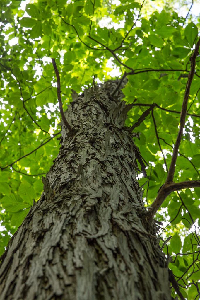 Shagbark Hickory tree at Falling Bark Farm Hickory Syrup in Berryville Virginia