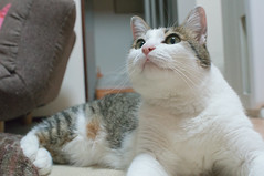 nose, animal, polydactyl cat, small to medium-sized cats, pet, mammal, burmilla, european shorthair, american shorthair, cat, whiskers, manx, domestic short-haired cat,