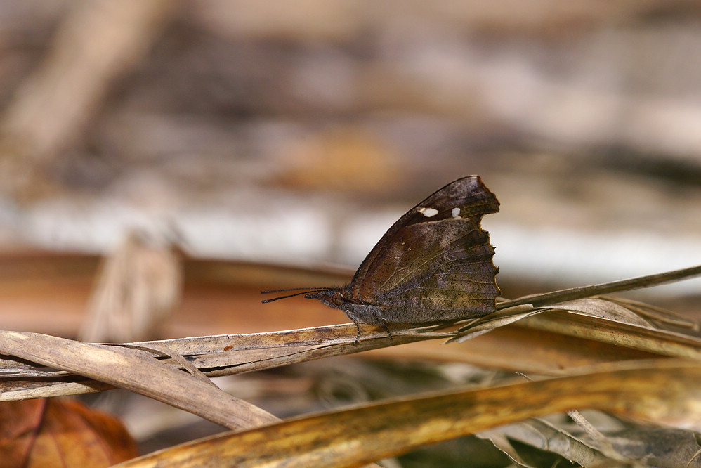 喙蝶屬東方喙蝶-1