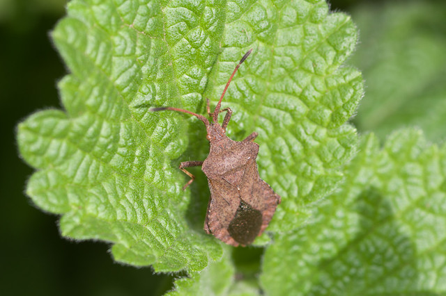 164: Coreus marginatus