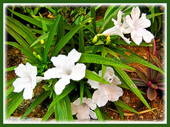 Ruellia brittoniana 'White Katie' at the outer garden border, 9 March 2014