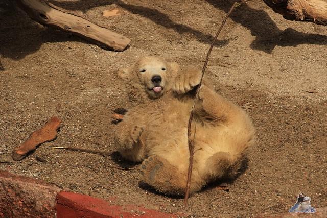Eisbär Fiete im Zoo Rostock 04.05.2015 95