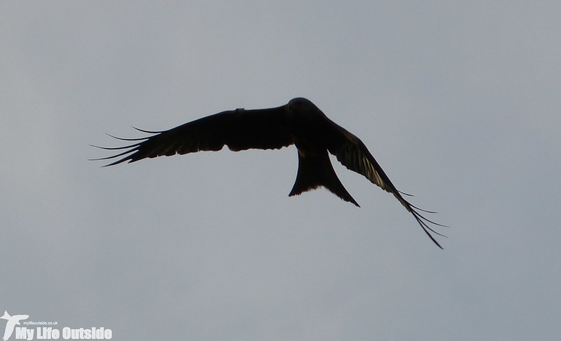 P1120298 - Red Kite