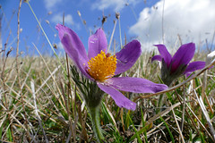 Pasque Flowers (Pulsatilla vulgaris)