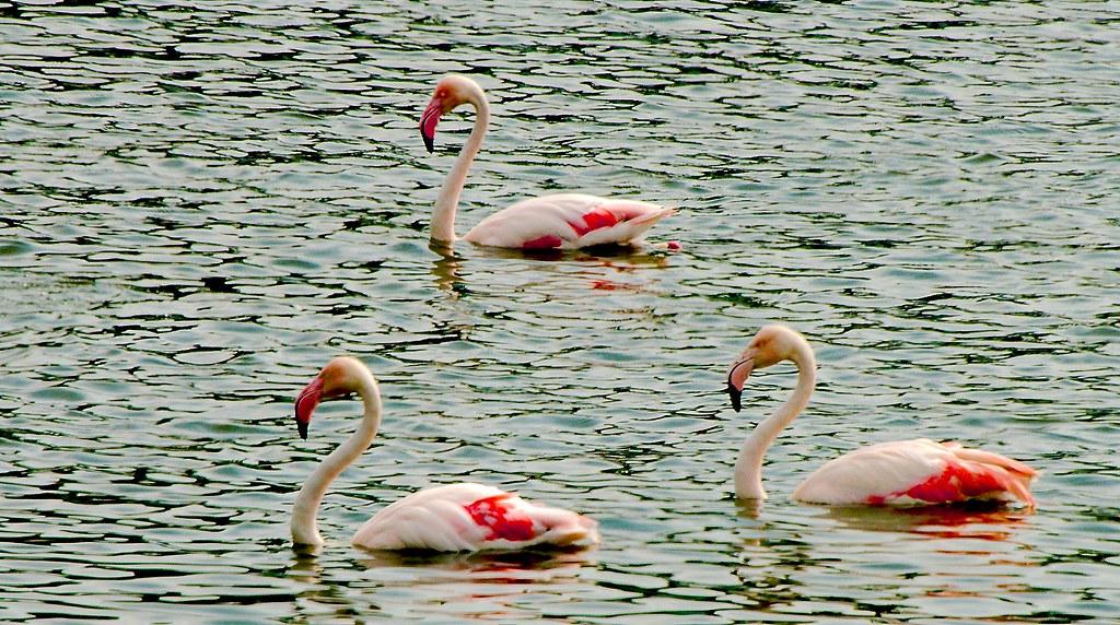 Greater Flamingo (Phoenicopterus roseus)_2