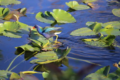 PURPLE GALLINULE # 3