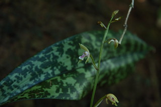Oeceoclades maculata Trinidad Point Gourde