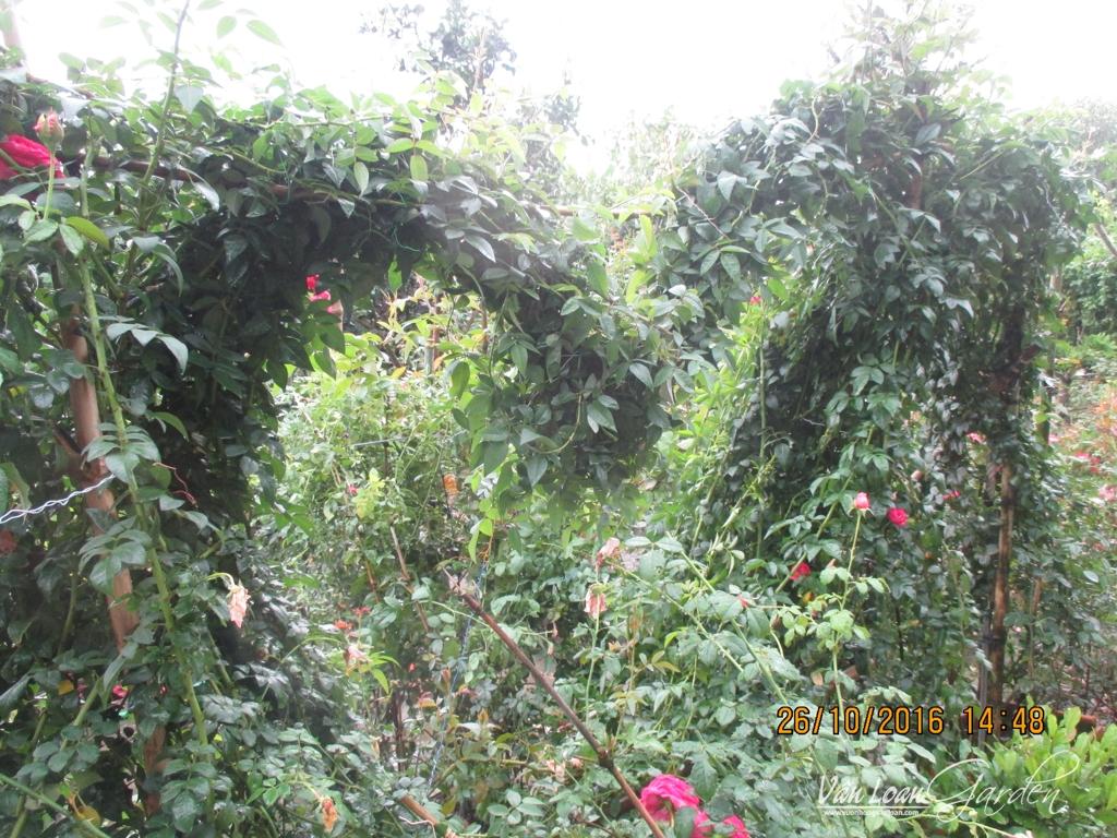 lam gian mat bang hoa hong leo (12)-vuonhongvanloan.com
