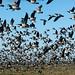 Barnacle Geese (Mati Kose)