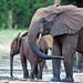 Elefante Africano - Photo (c) GRID Arendal, algunos derechos reservados (CC BY-NC-SA)