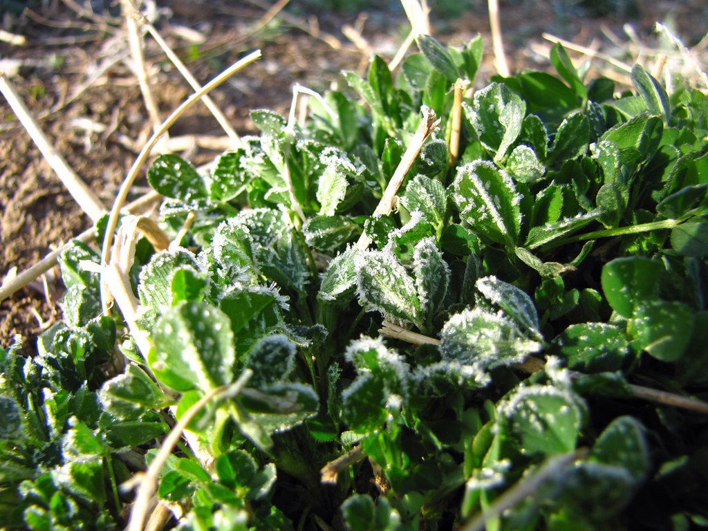 Frost on the Alfalfa
