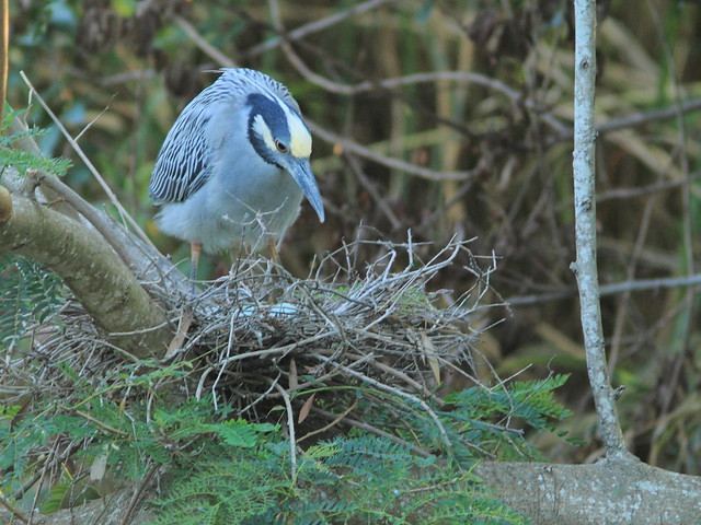 Yellow-crowned Night-Heron female nest 10 non-HT incubating 20120418