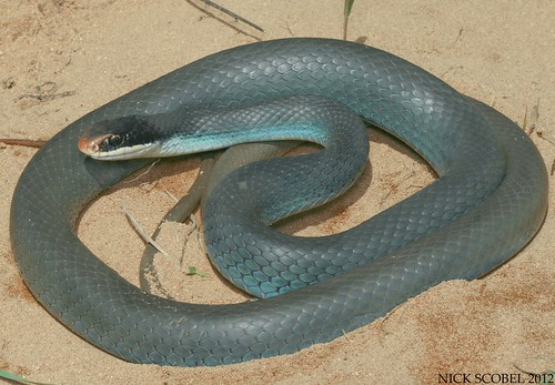 One Of Our Largest Snake Species The Blue Racer Is An Active And Agile Serpent Which Gets Its Name From Coloration It Often Attains