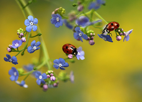 Ladybirds on Forget-me-not