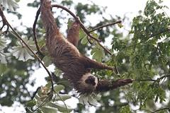 animal(1.0), three toed sloth(1.0), branch(1.0), tree(1.0), mammal(1.0), fauna(1.0), new world monkey(1.0), wildlife(1.0),