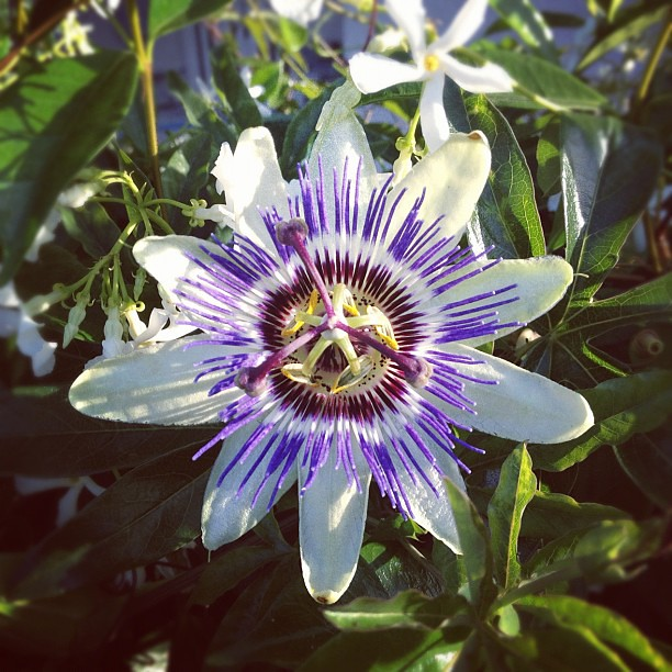 The extraterrestrial beauty of a passionflower in full bloom.