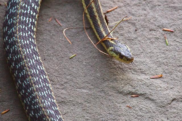Common Eastern Garter Snake Flickr Photo Sharing