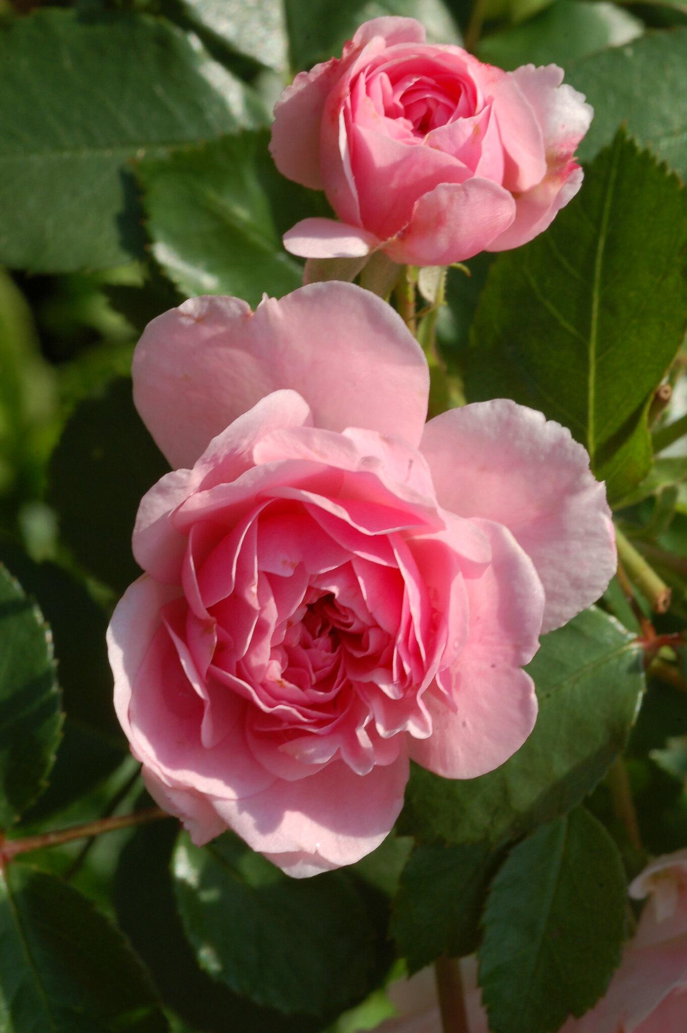 fairy rose rosa hybr 39 the fairy 39 fairy rose rosaceae. Black Bedroom Furniture Sets. Home Design Ideas