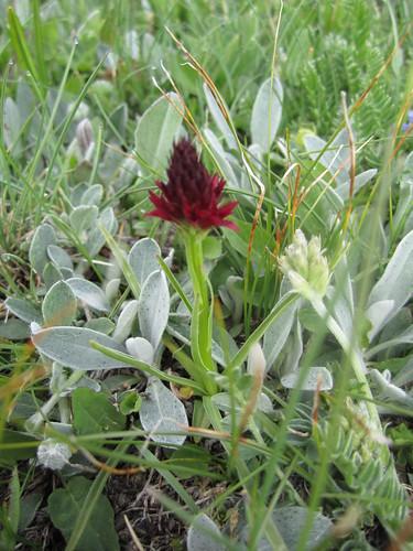 Nigritella rhellicani - Nigritella comune