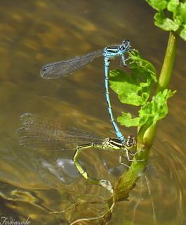 Overcurrent copulating-Damselflies