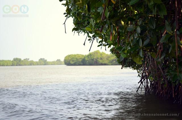 Mangrove forest at Pichavaram Tamil Nadu