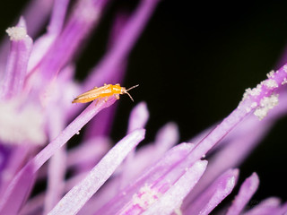 New Flickr - Thrips on Thistle
