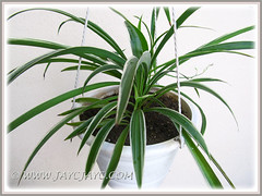Chlorophytum comosum 'Variegatum' (White/White-edged Spider Plant, Variegated Spider Ivy) in our garden, May 22 2013