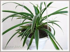 Chlorophytum comosum 'Variegatum' (White/White-edged Spider Plant, Variegated Spider Ivy) in our garden, May 22 2013