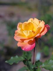 Rose, Rio Samba, バラ, リオサンバ,