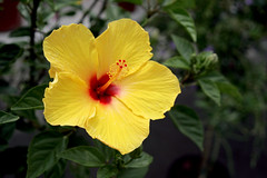 large-flowered evening primrose (0.0), flower(1.0), yellow(1.0), plant(1.0), macro photography(1.0), flora(1.0), chinese hibiscus(1.0), petal(1.0),